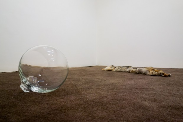 """Float 2013 Blown glass sphere ~16×18×16"""" A master craftsman at the Reijmyre (Sweden) Glassworks blew the sealed glass bubble, which is buoyant enough to support a human body in water. Created in part during a residency with ArtLab, Reijmyre, Sweden. Coyote 2014 Purchased coyote pelt 60×4"""" Carpet 2013 Hand-tufted cut-pile wool 10×17' Created with the participation of Bill Blachly's flock of Romney and Border Leicester sheep (Marshfield, Vermont), Kate Smith and the Marshfield (VT) School of Weaving, the Green Mountain Spinnery (Putney, VT), and Joshua Hasson (Walnut Creek, California)."""